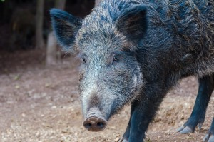 wild boar in the hunting ground