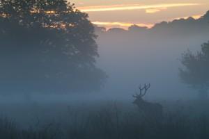 Red Deer Stag Silhoutte  in Dawn Mist
