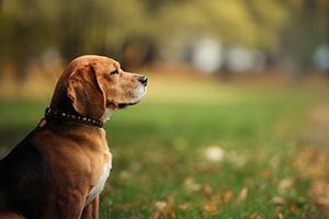 Dog breed Beagle walking in autumn park