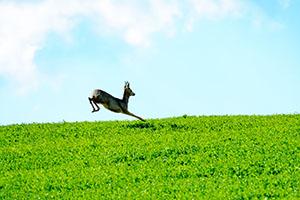 Deer jumps in a green field