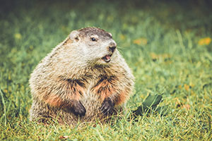 Chubby and cute Groundhog (Marmota Monax) sitting up on grass an