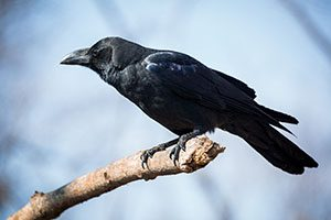 Beautiful black crow sitting on the branch
